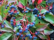 Bacche di Parthenocissus quinquefolia- foto dal web
