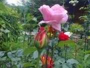 Le rose del mio giardino.