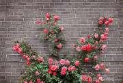 rose-sul-muro-di-mattoni-4531215.jpg