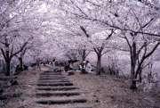sakura-giappone.jpg